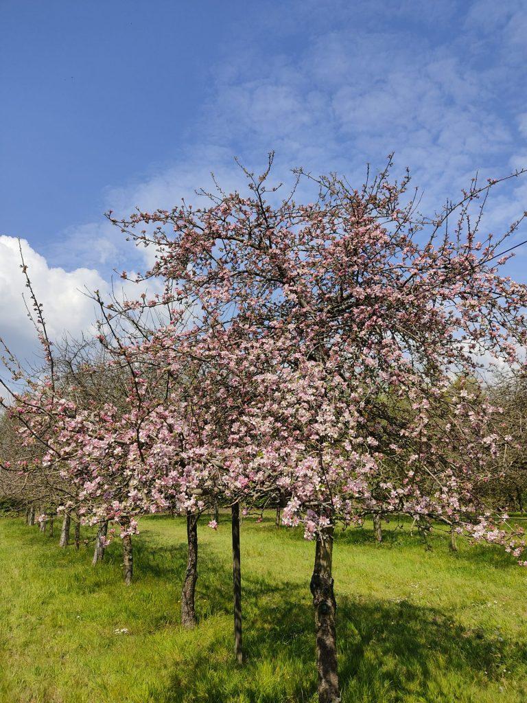 printemps perguet pommier rose perguet