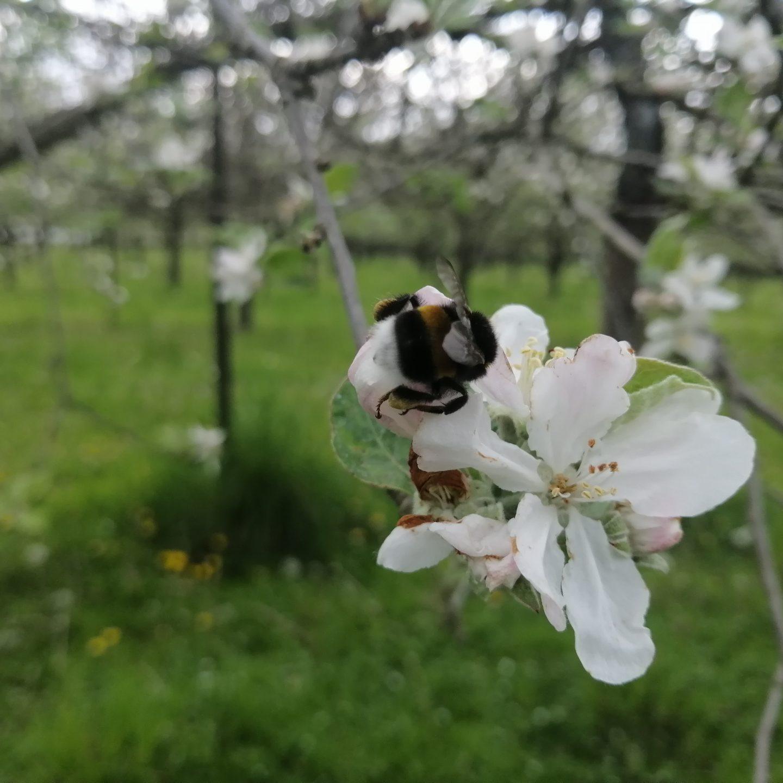 printemps perguet bourdon abeille