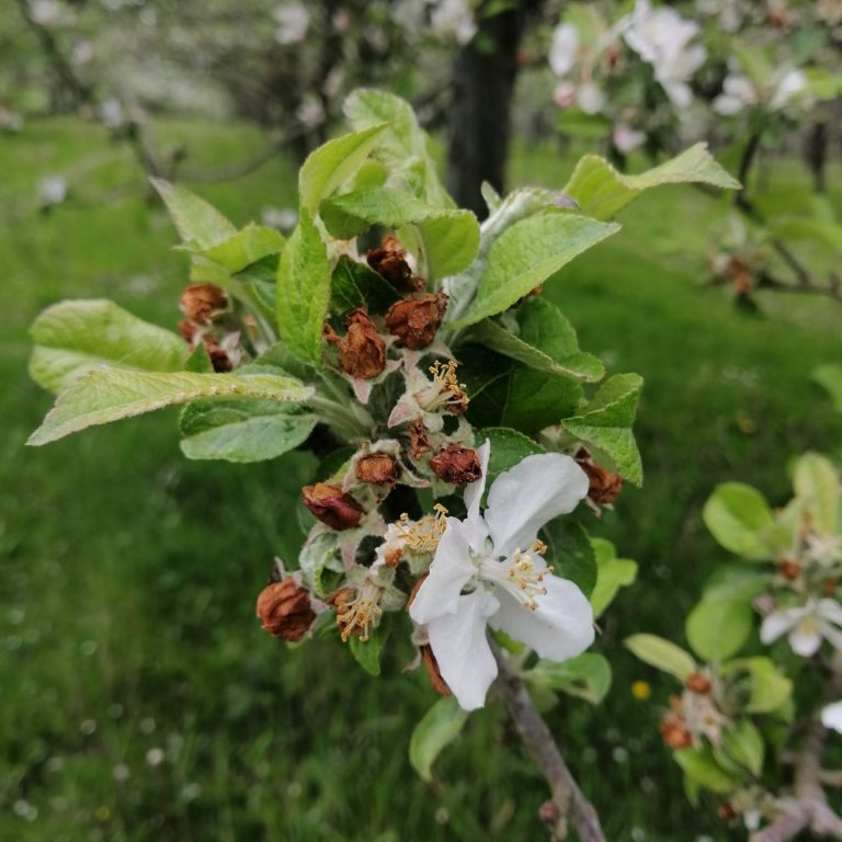fleur pommier anthonome